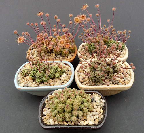 http://www.cact.cz/noviny/2012/04/J04_Monanthes_polyphylla_n.jpg